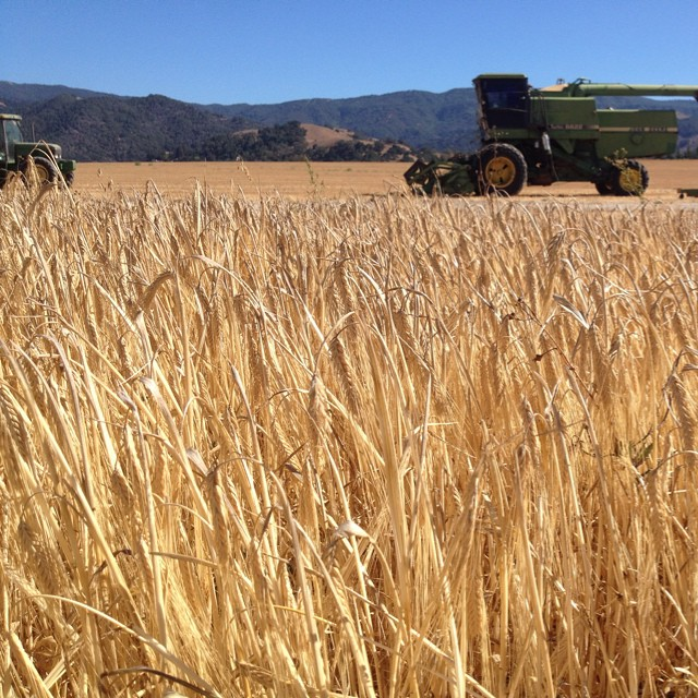It's a beautiful day to harvest barley. #camaltingco #craftmalt  (at Santa Ynez, California)