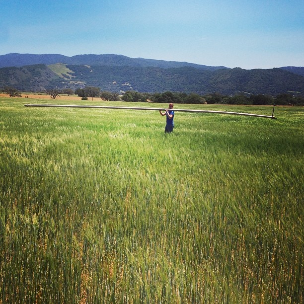 I wish I was in the barley fields today, singing Sting. #CAMaltingCo #CraftMalt #AMBA #SantaYnezValley