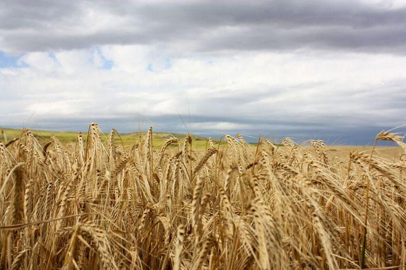 Budweiser barley fields