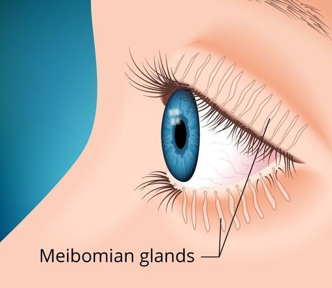 Meibomian Glands.jpg