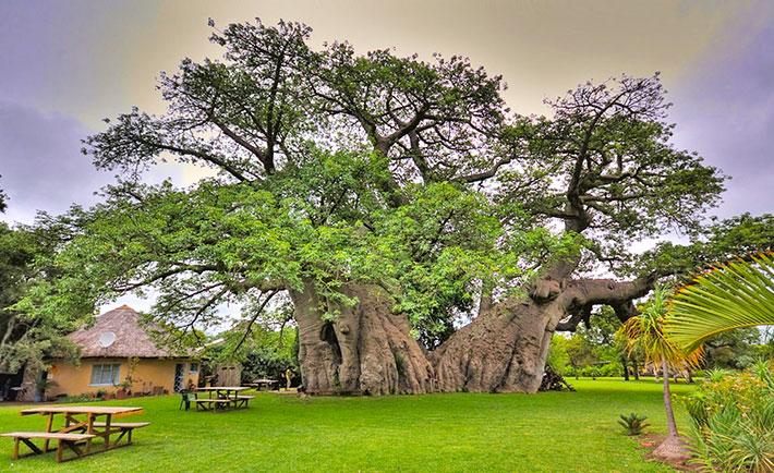 sunland-baobab.jpg