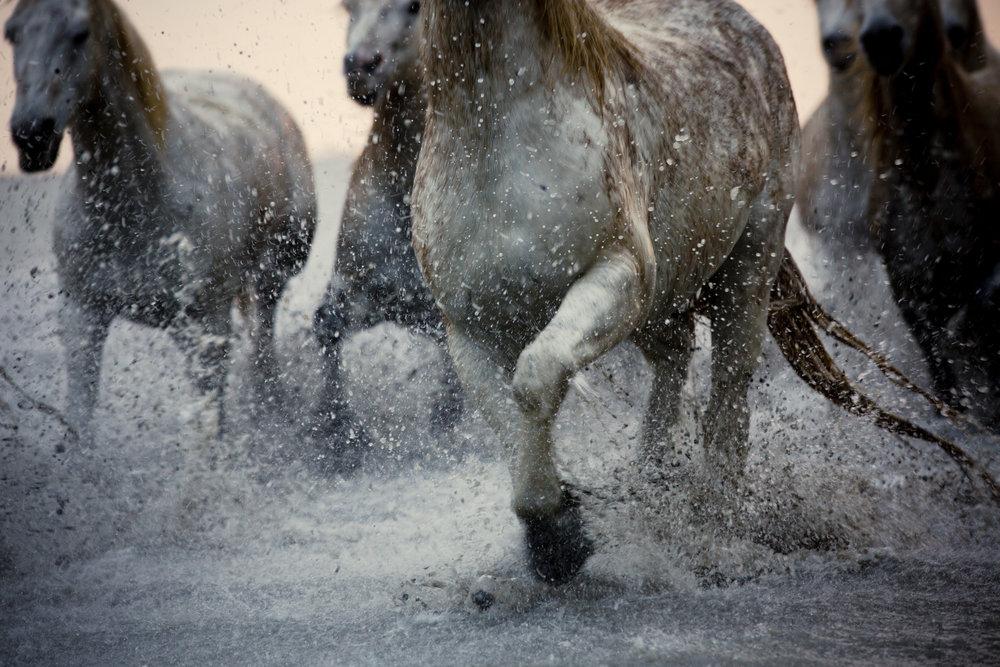 White Camargue Horses_2-4.jpg