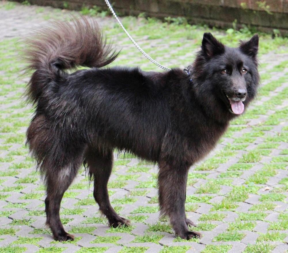 Unshaved fur length