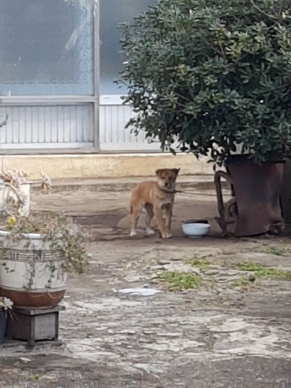 Nuri tied up outside as an outdoor only dog before rescue