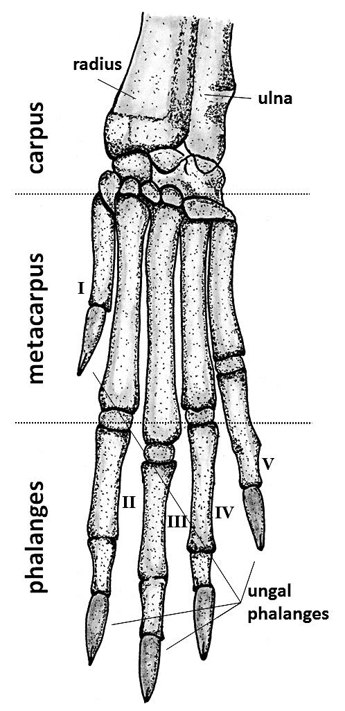 Figure-2-Dorsal-view-of-the-bone-anatomy-of-rabbit-feet-left-front-A-and-hind-B.png