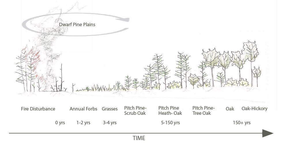 The succession of the Pine Barrens. Illustration courtesy of Amanda Branum