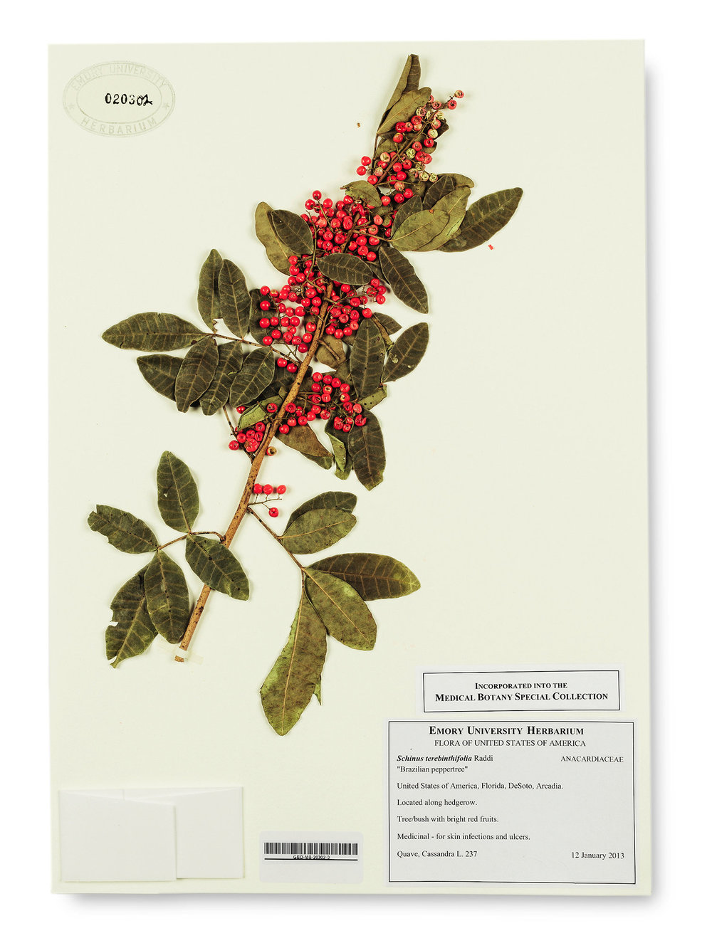 Brazilian peppertree, which is being studied for antibiotic potential.     Credit: Damon Casarez for  The New York Times