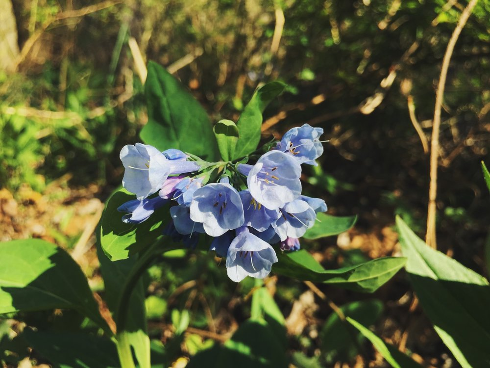 Virginia bluebell,  Mertensia virginica
