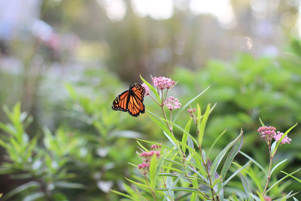 A monarch (Danaus plexippus) utilizing the milkweed (Asclepias spp.) in Bryn Mawr, PA. Milkweed is an excellent plant for supporting pollinators, particularly because monarch populations rely on milkweed as hosts for their caterpillars so they can successfully reproduce.  (Photo: Heather Rosenfeldt)