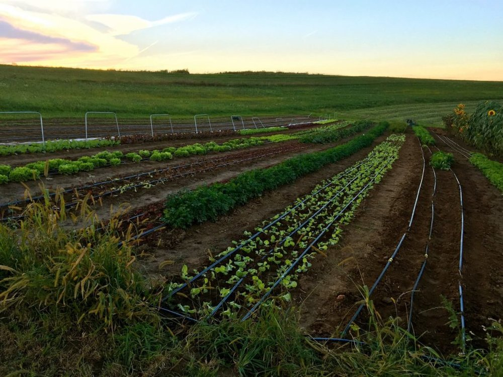 Hand planted crops at Second Cloud on the Left Farm, La Farge.  Photo by Second Cloud on the Left, Facebook