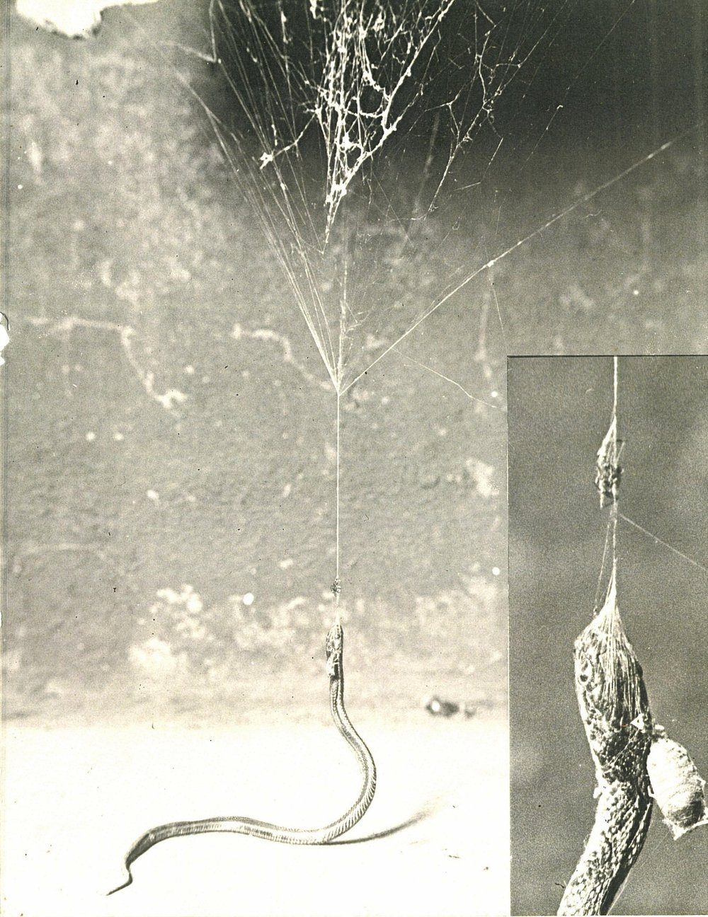 Snake and Spider War, Photograph contributed by Mayor Langum. Sept. 1932