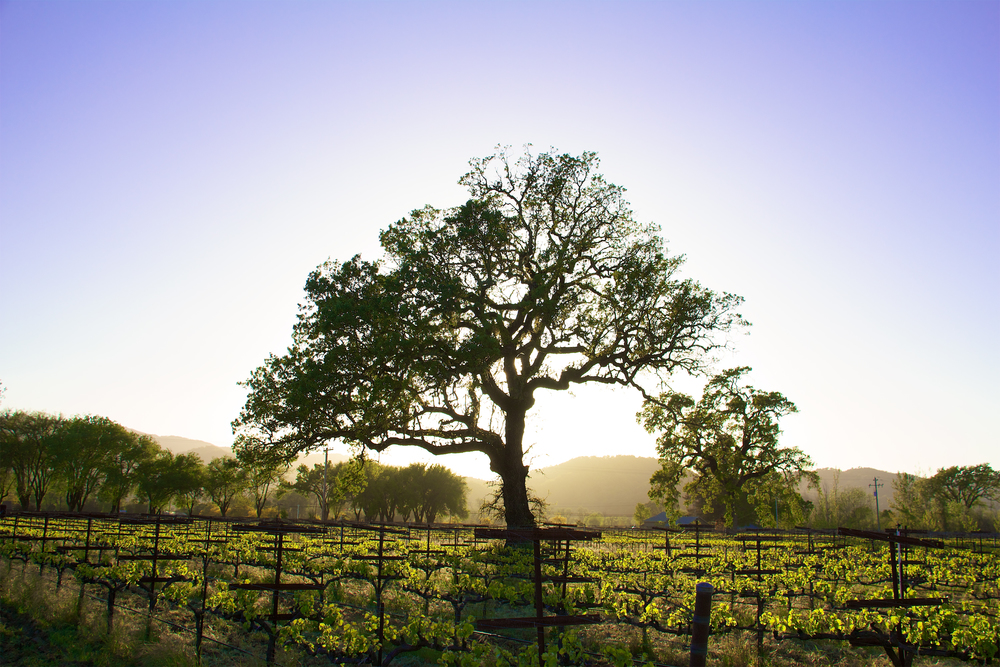 Oak Tree with vineyards .jpg