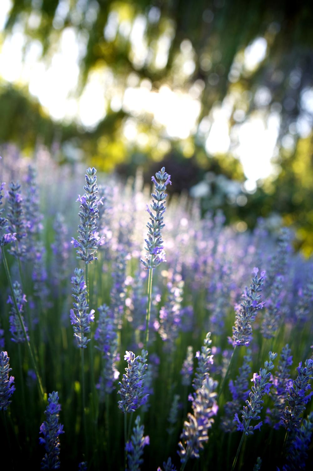 lavendar jpg.jpg