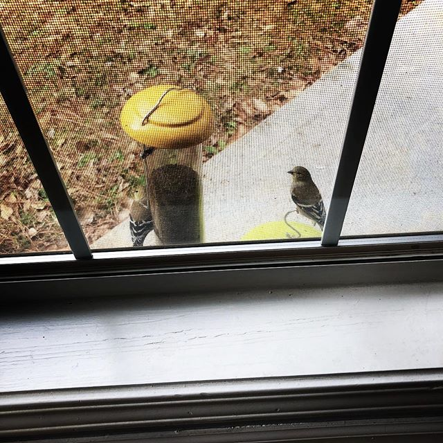 Are your feeders full? The sunshine-y goldfinches are here! Hang their favorite treats of hulled sunflower seeds or thistle to attract them. Or maybe you don't have to hang it at all. These hungry finches don't even care our thistle feeder got left sitting on the back porch 😂☀️
