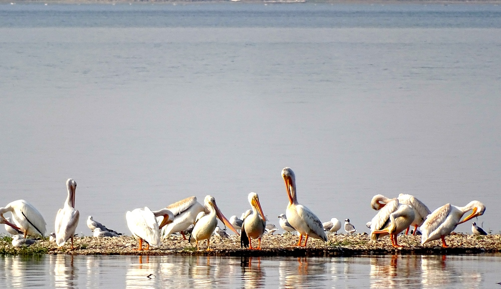 White Pelicans at Nelson Reservoir in North Dakota