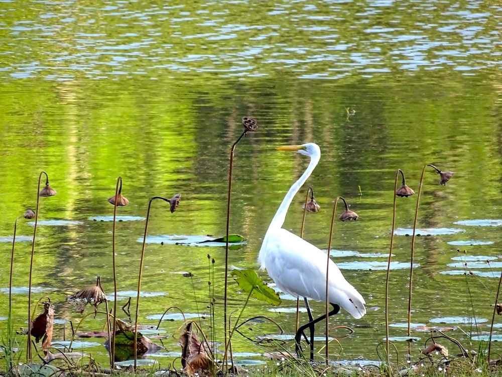 Mmmm...beautiful White Egret