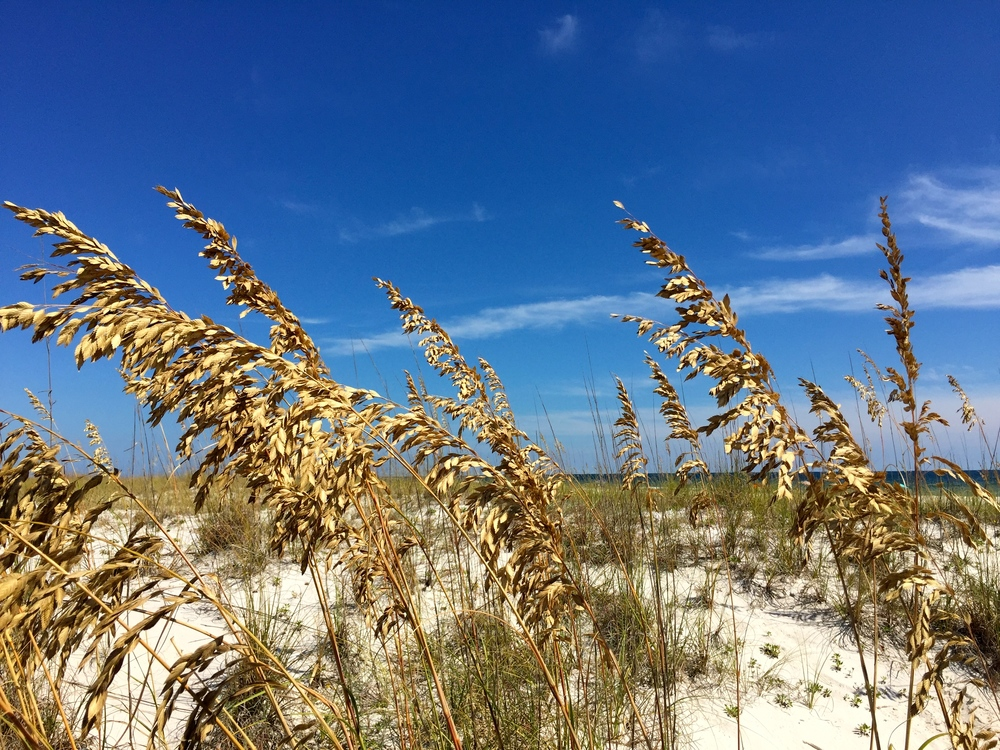 Sea Oats Blowing in the Breeze