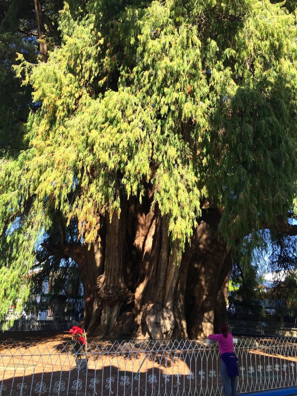 2000 year old Montezuma Cypress Tree