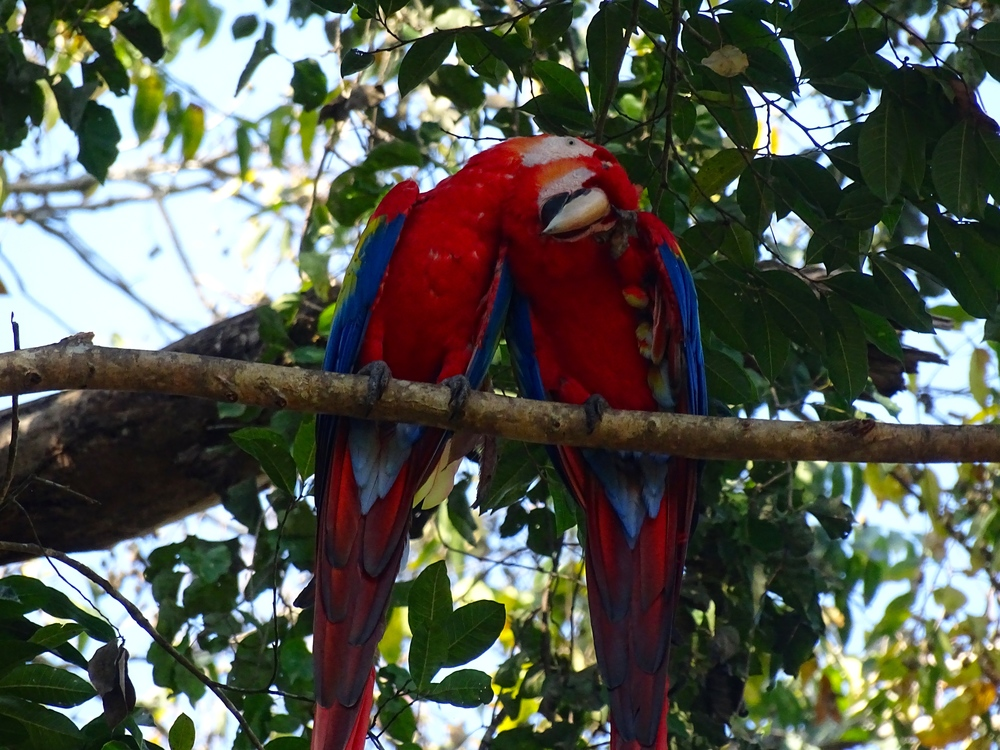 Lots of Macaws near the entrance of Copan Ruins.