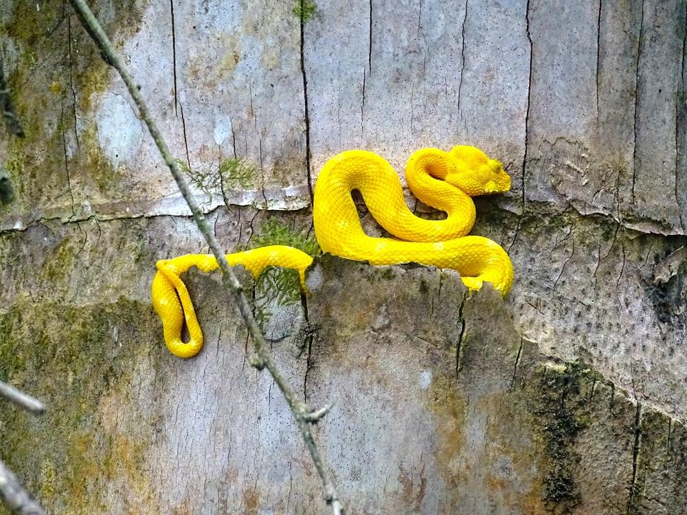 Eyelash Pitviper Snake