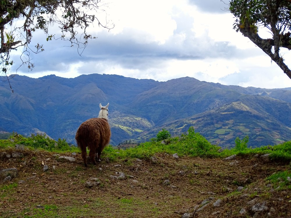 The view from Kuelap is very much worth a contemplative pause.  This llama had a great job tending to the grass and scrubs.