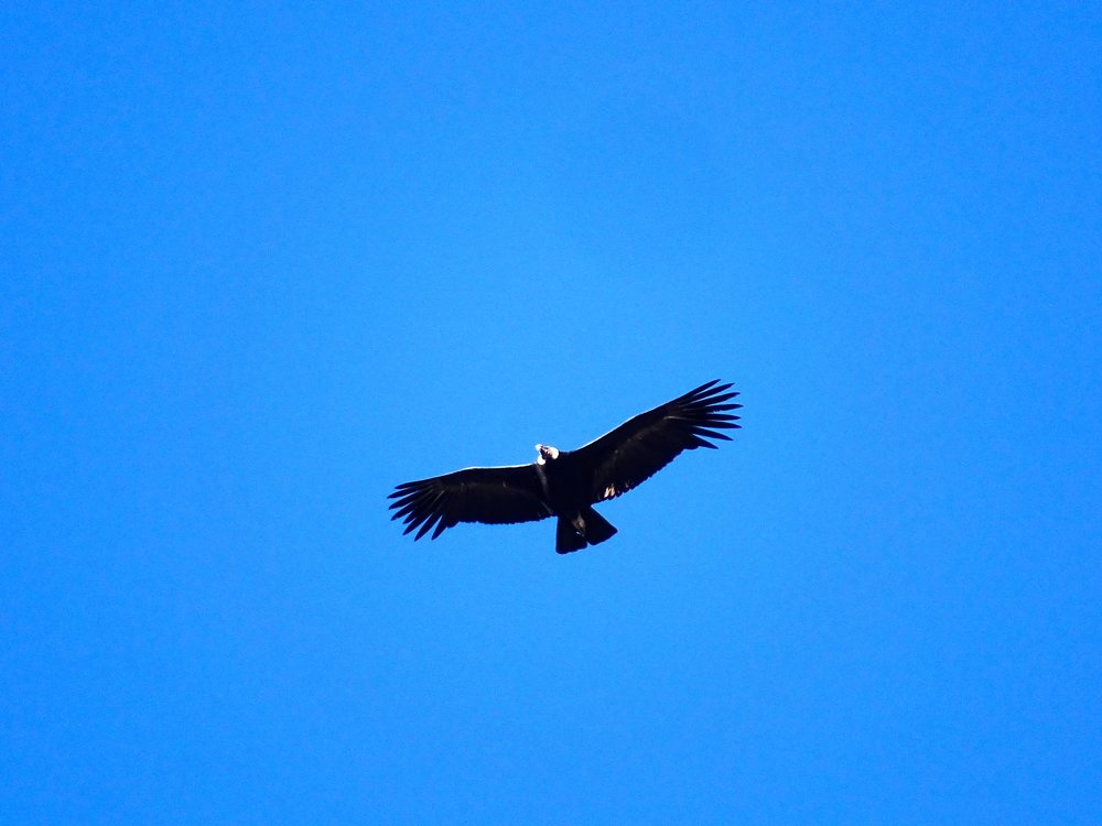 We stopped at an overlook to see if any condors were around, and didn't see any.  Then I looked straight overhead!