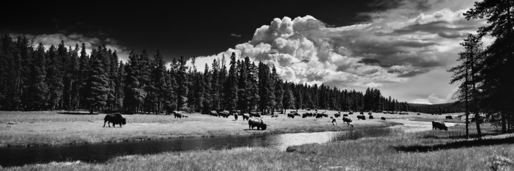 Yellowstone National Park,  Nez Perce Creek, Buffalo, Wyoming
