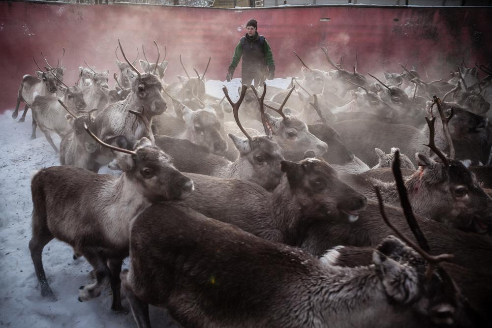 Reindeer_005.jpg