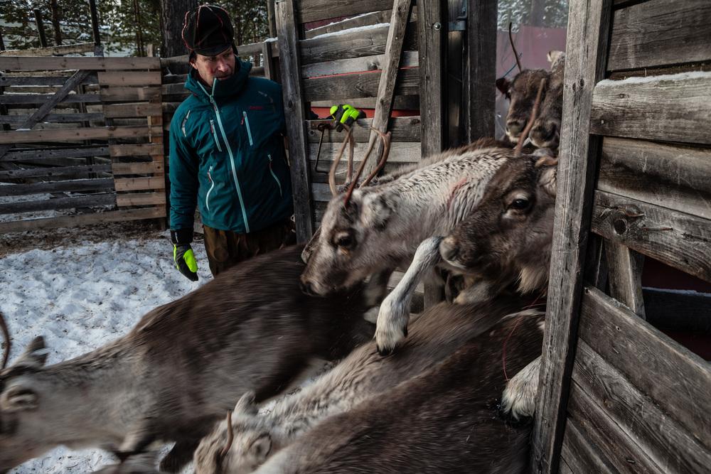 Reindeer_013.jpg