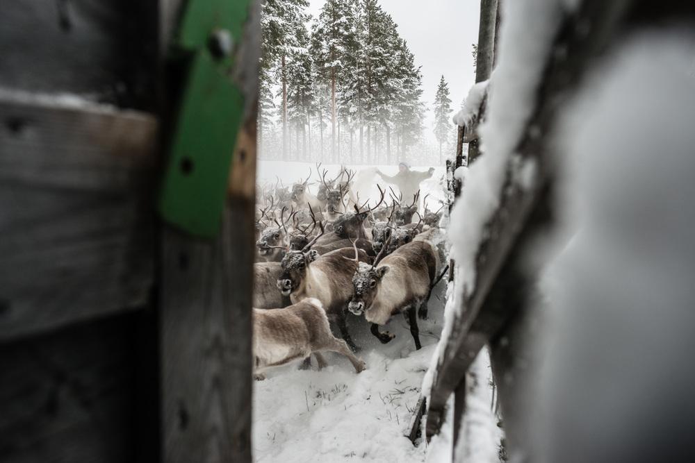 Reindeer_012.jpg
