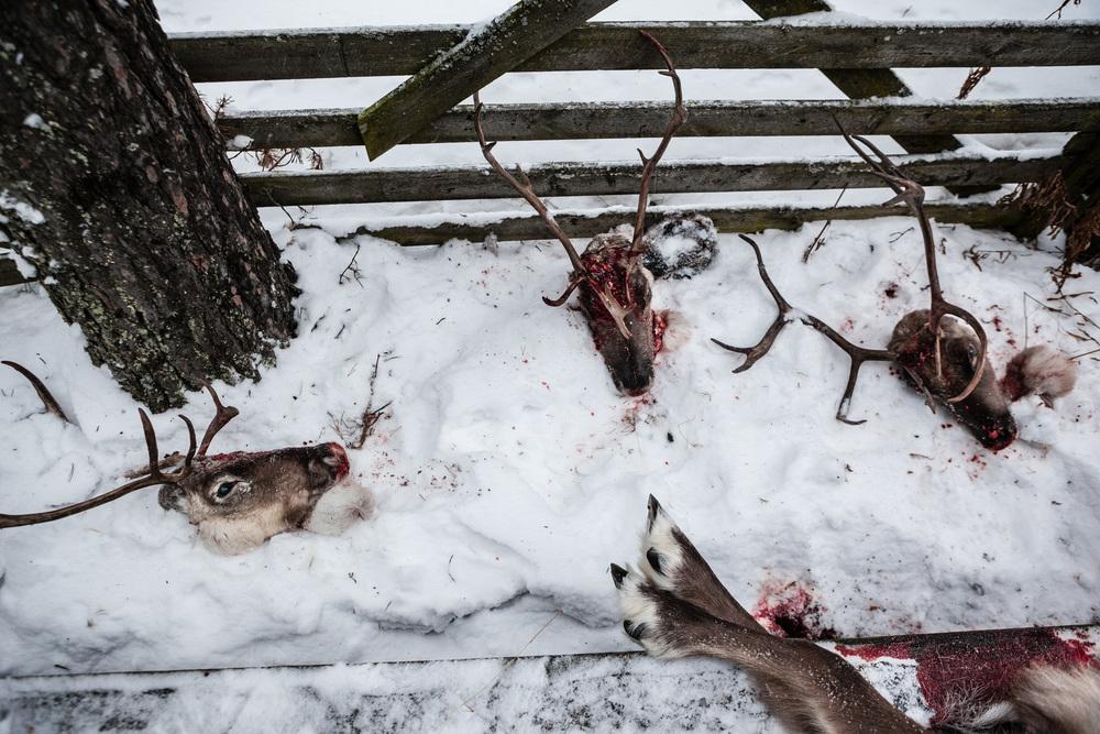 Reindeer_017.jpg