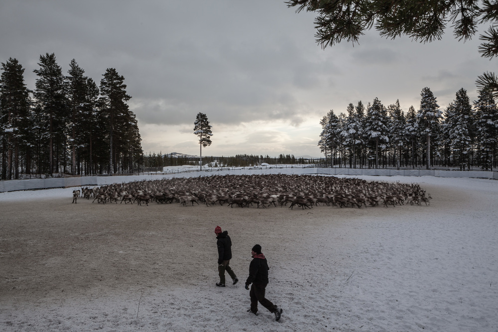Reindeer_018.jpg