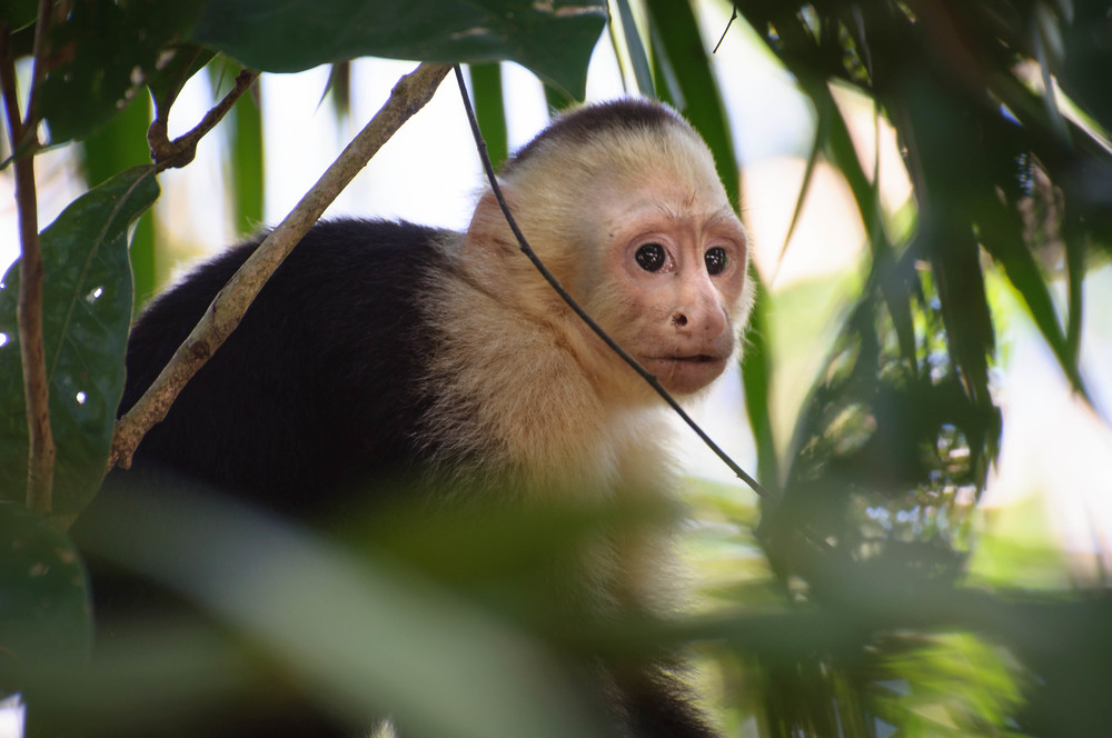 A Capuchin Monkey (also known as the Howler Monkey). Manual Antonio National Park in Costa Rica.