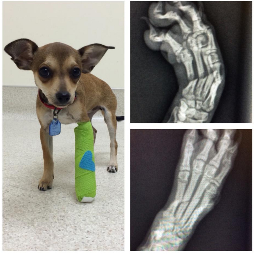 From Facebook  ~ What a difference a week makes!   Skittles came in for her check up today and her foot is healing very well...check out the difference in her X-rays!