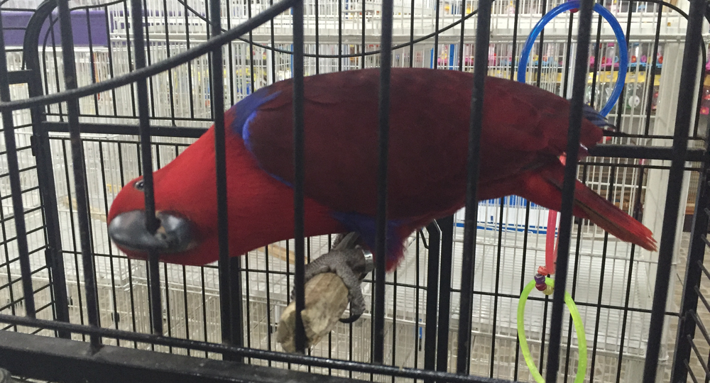 Eclectus Parrot (Eclectus Roratus) for sale for R$7,500.00 | Photograph by Talita Bateman