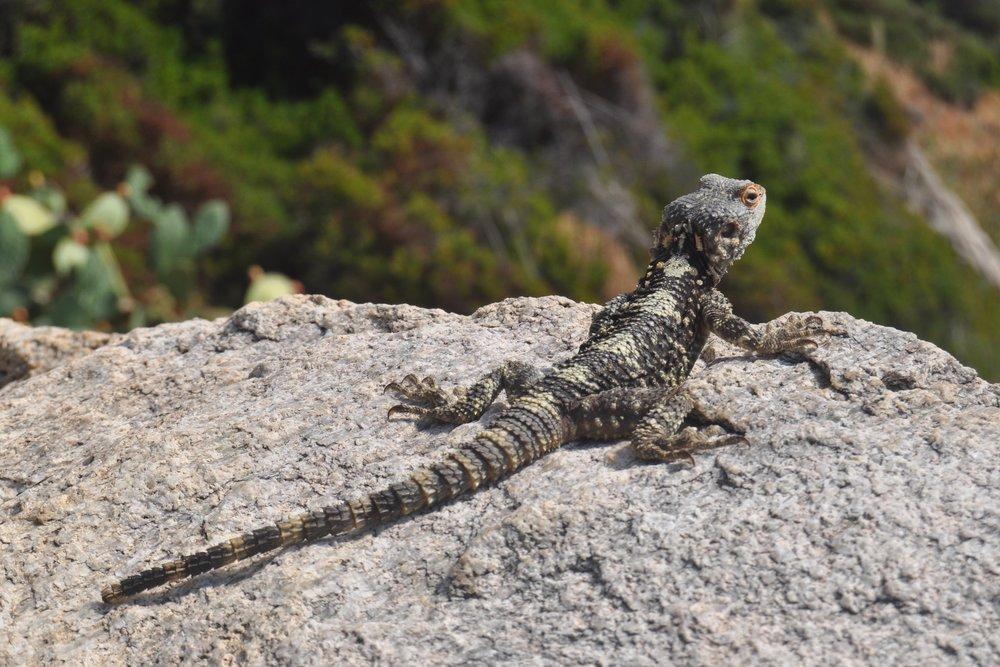 Reptiles of Ikaria View