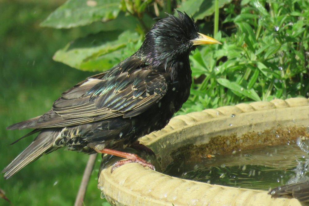 Kate's Starlings