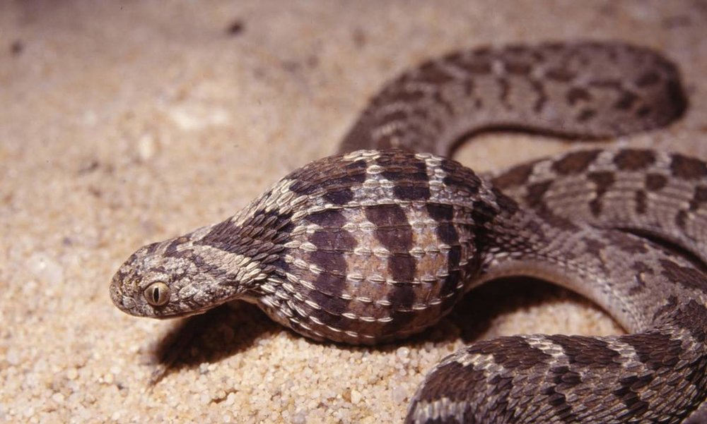 Dasypeltis scabra  by  Animal Reader