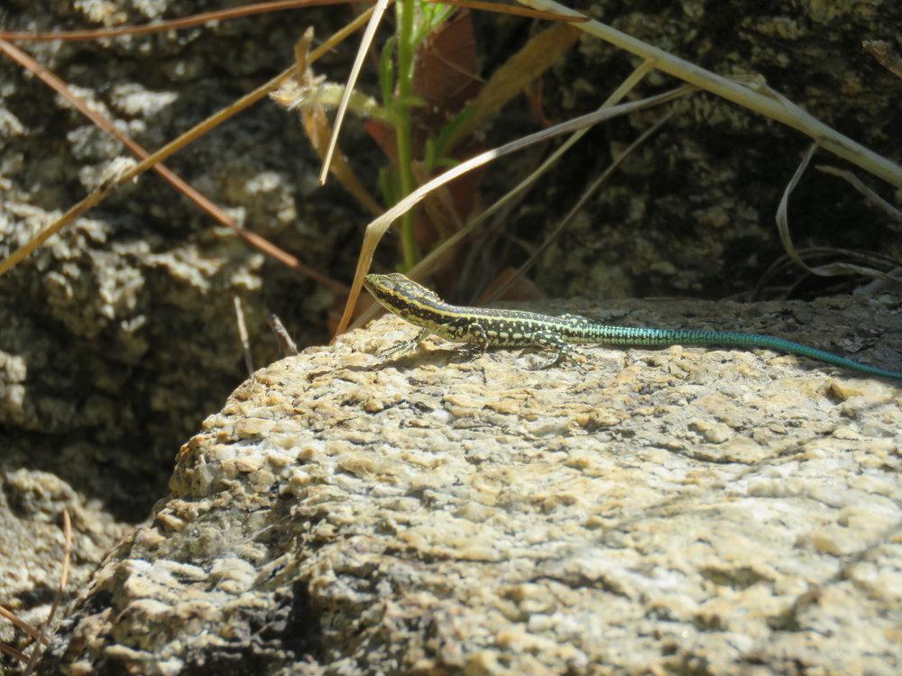 Juvenile Oertzen's Rock Lizard ( Lacerta oertzeni ) | Credit:Talita Bateman
