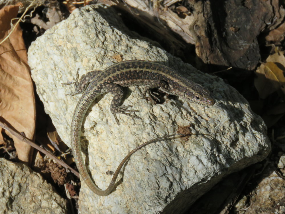 Betty the Oertzen's Rock Lizard | Credit: Talita Bateman