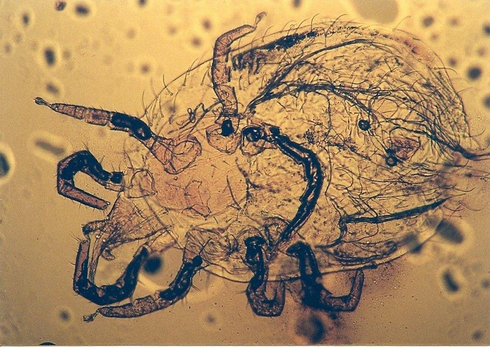 Snake Mite ( Ophionyssus natricis ) | Photographfrom  Acta Veterinaria Scandinavica  (Rataj et al. Acta Veterinaria Scandinavica 2011, 53:33)