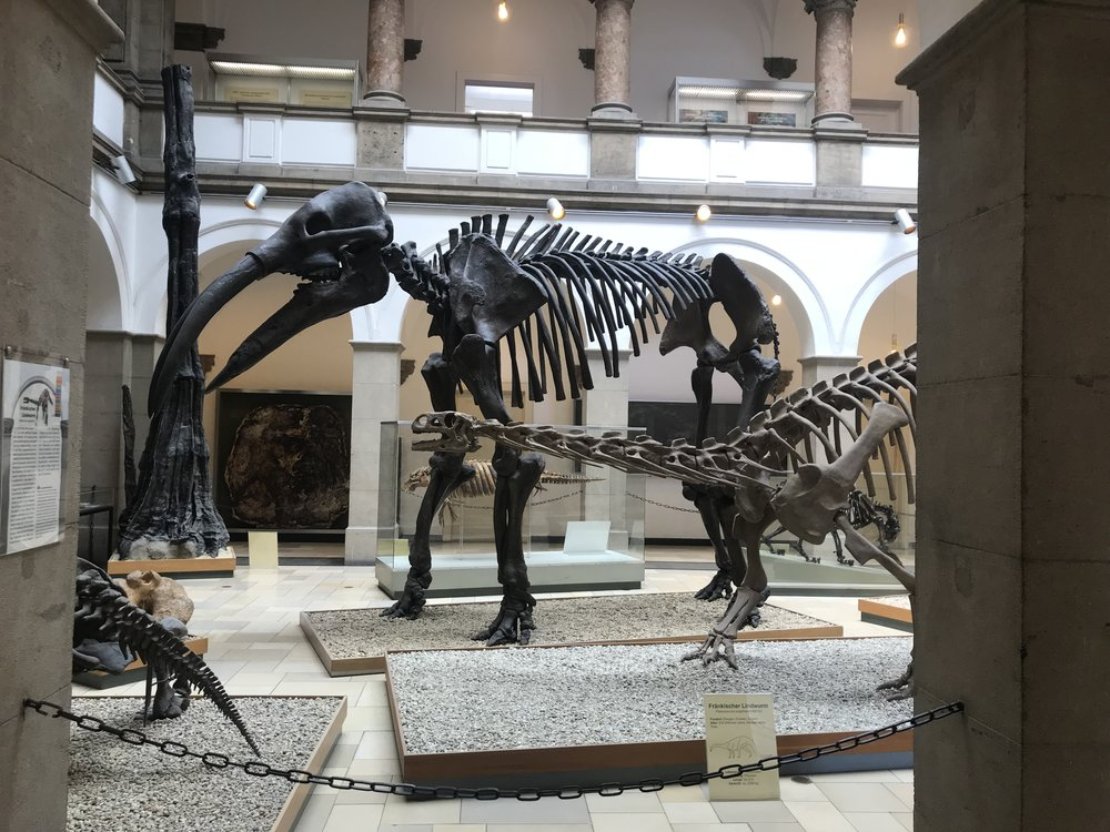 Welded Beast ( Gomphotherium ) at Munich Palaeontological Museum