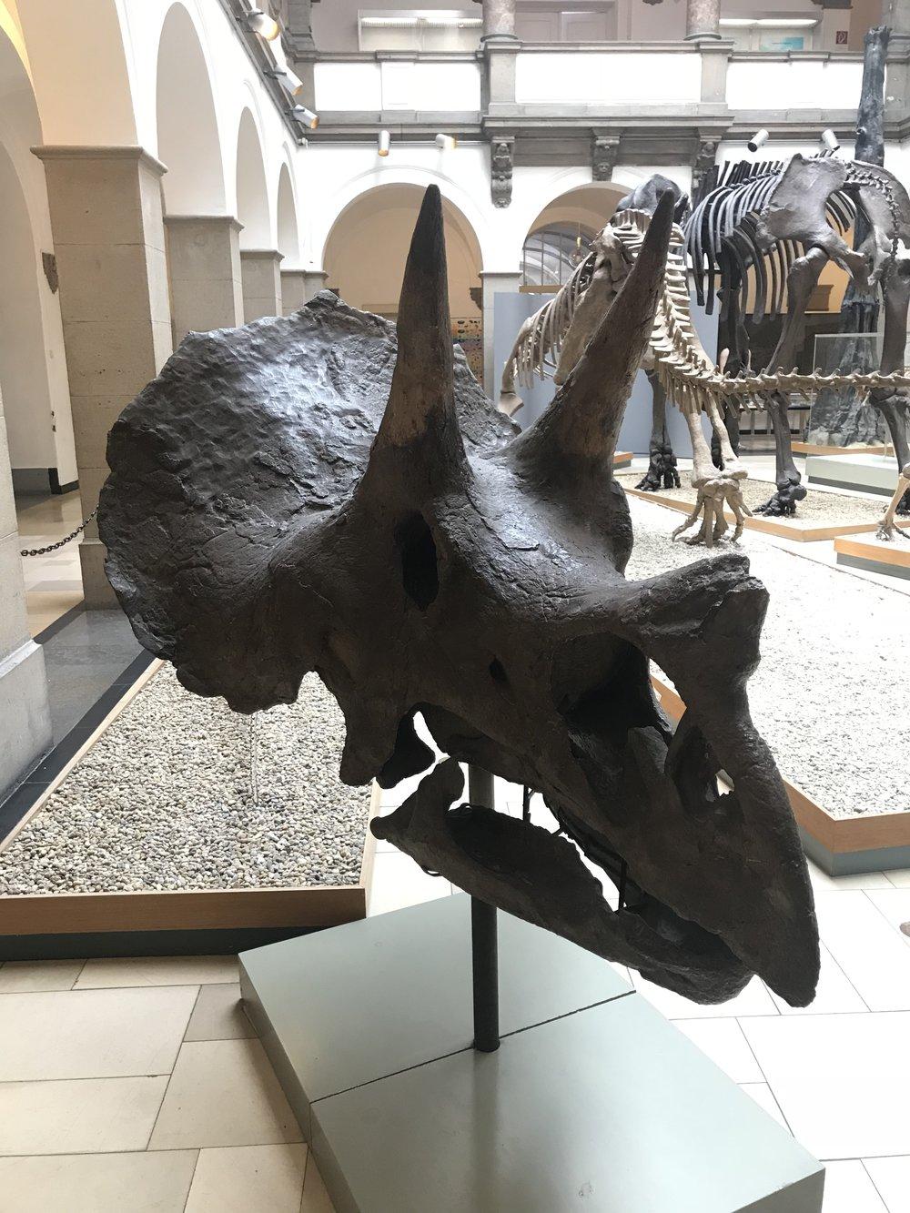 Triceratops horridus  | Credit: Talita Bateman
