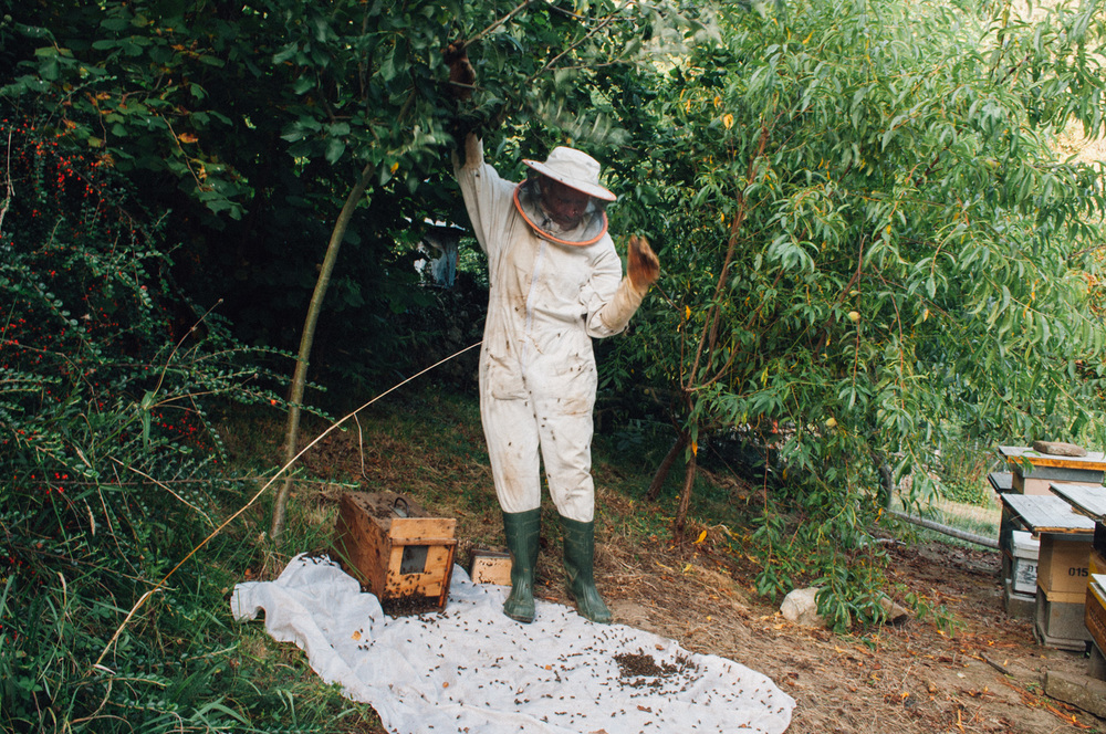To harvest a wild beehive