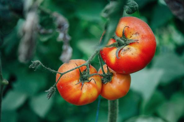 Con Raíz  | Organic Tomatoes