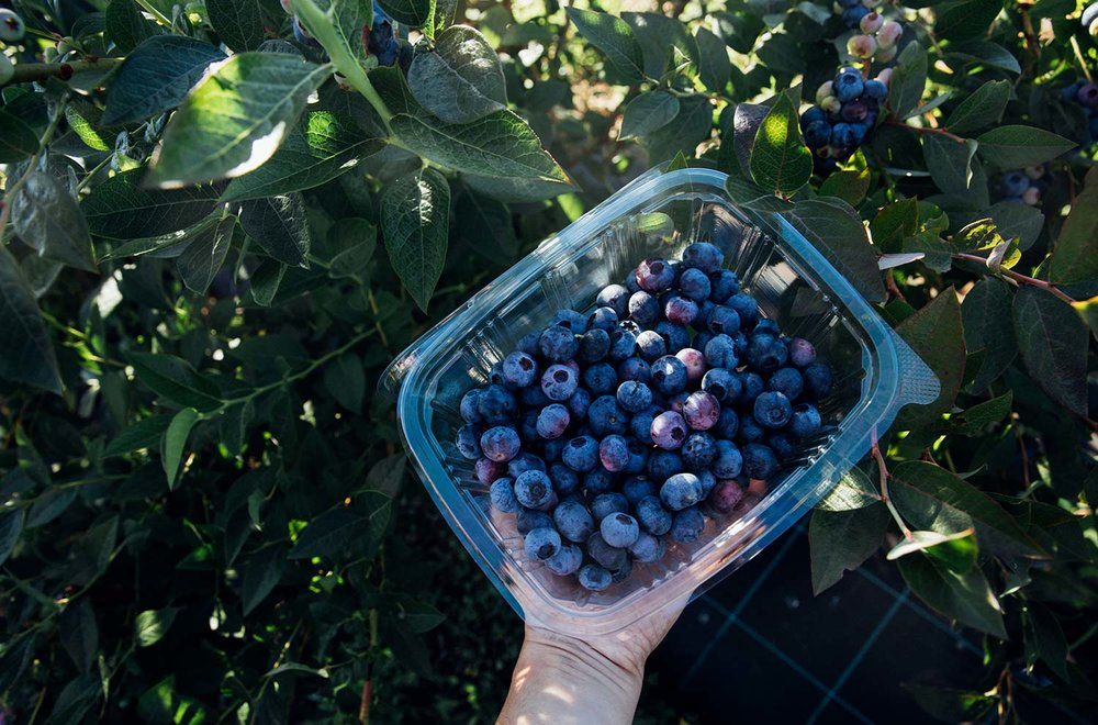 Blueberries, Grandas de Salime © Monica R Goya