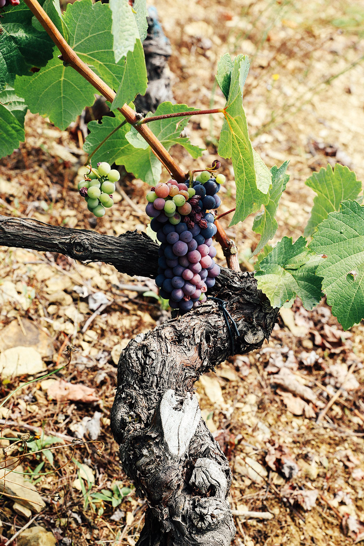 vino de Cangas vineyard ©Mónica R Goya