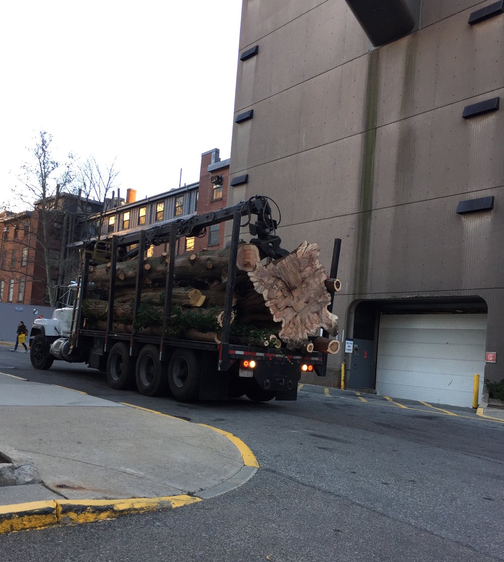 The Dawn Redwood is carted away from the Prouty Garden. December 3, 2016