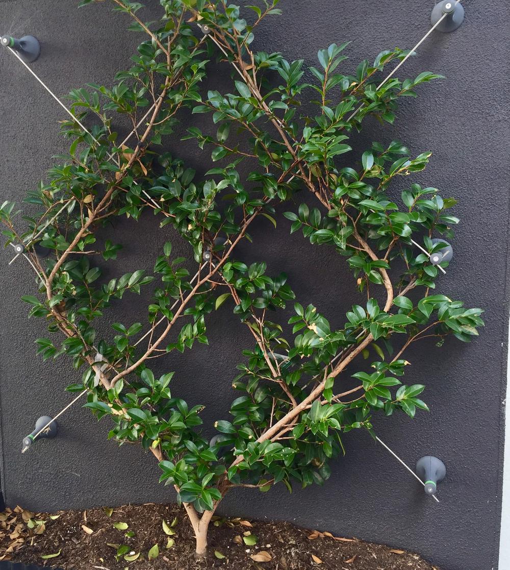 WEB diamond camellia FullSizeRender.jpg
