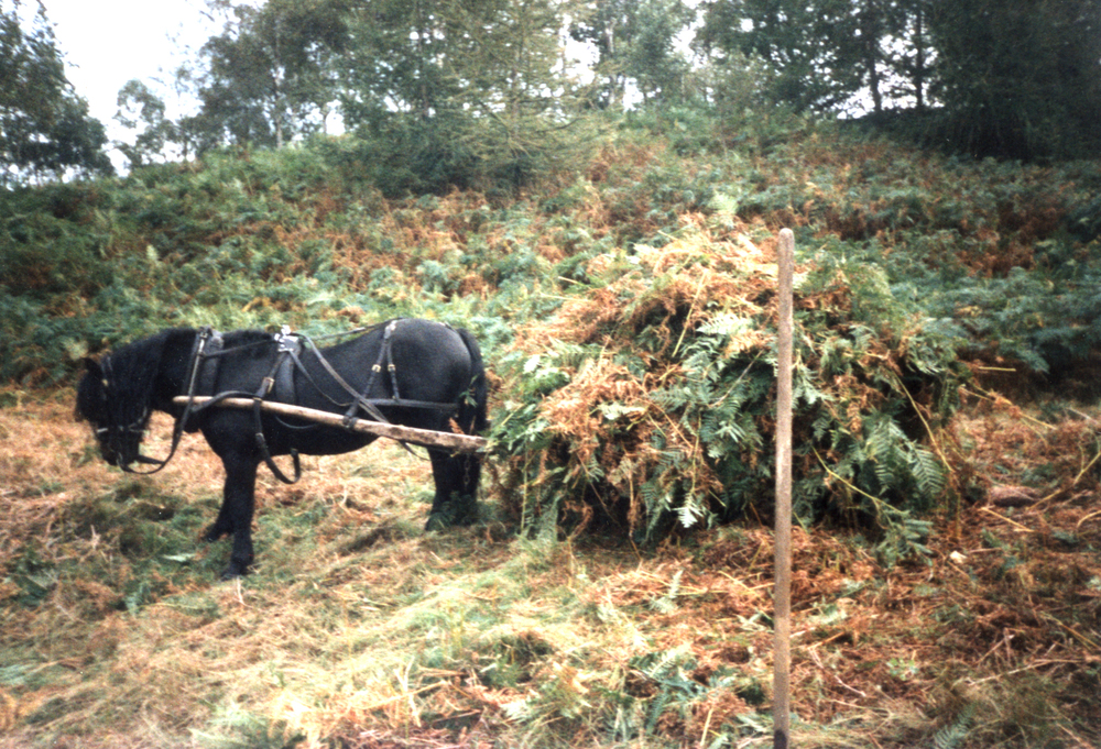 Hades Hill Charlie with coppice sledge loaded with bracken for potash